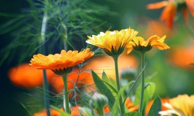 Ekstrakty roślinne w leczeniu uszkodzeń skóry - apteka internetowa Melissa